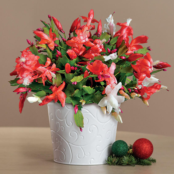Christmas Cactus Care Guide