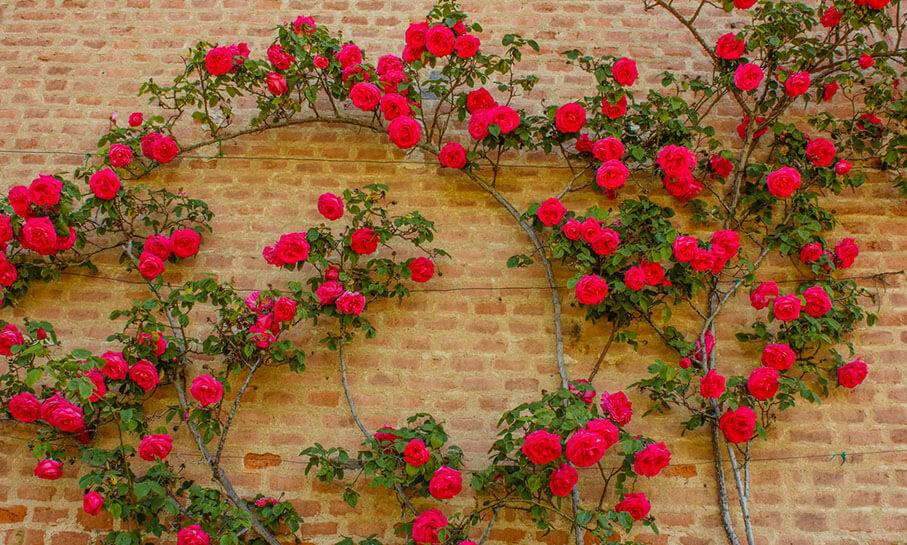 climbing red roses on wall