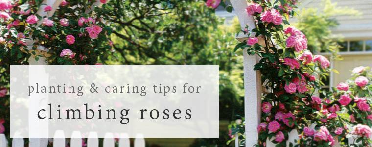 Planting and Caring for your Climbing Roses