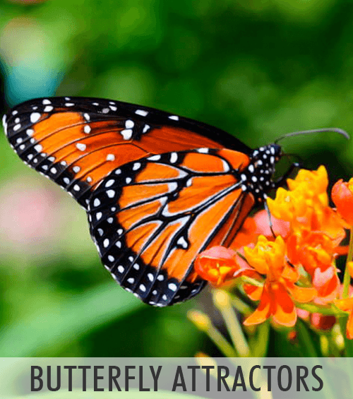 Butterfly Attractors