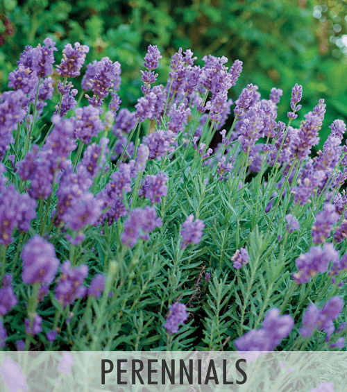 All Perennials