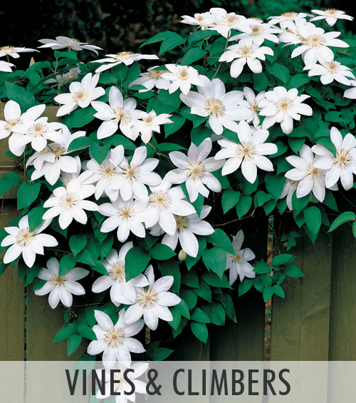 Vines and Climbers