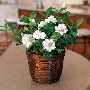 Gardenia Care Guide