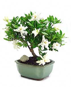 Beautiful The Gardenia Bonsai Plant Is A Dwarf Variety Of Gardenia Jasminoides. It Is  A Low Growing Evergreen Plant With Glossy, Deep Green Leaves, Bearing  Fragrant ...