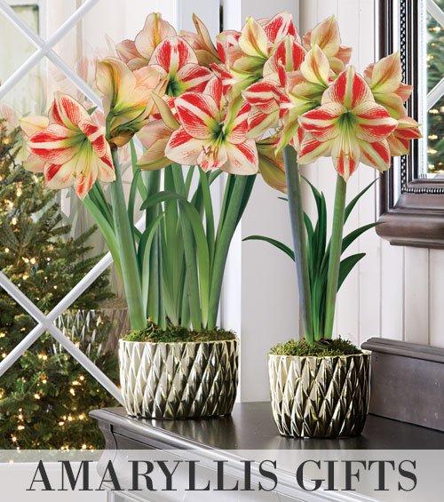 Amaryllis Bulb Gifts