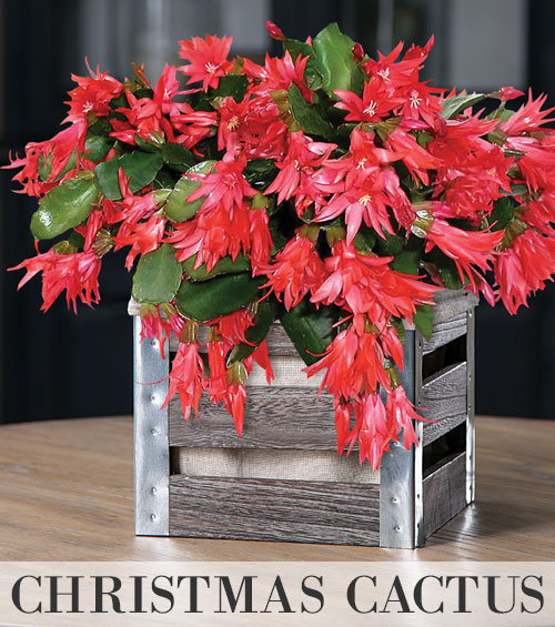 Christmas Cactus and Holly