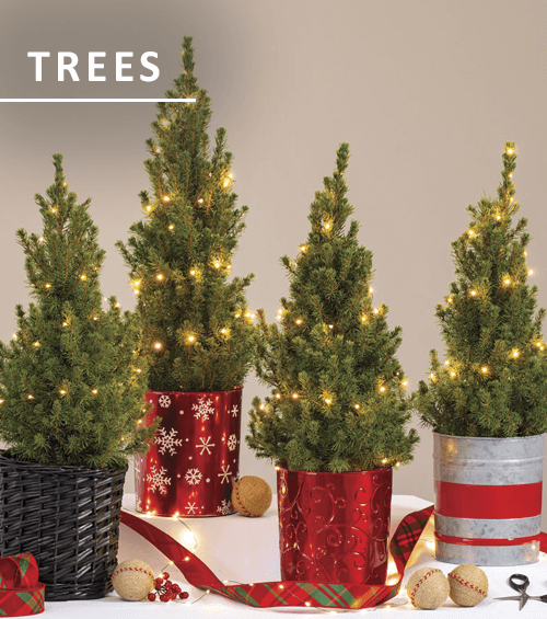 Live Decorated Christmas Trees
