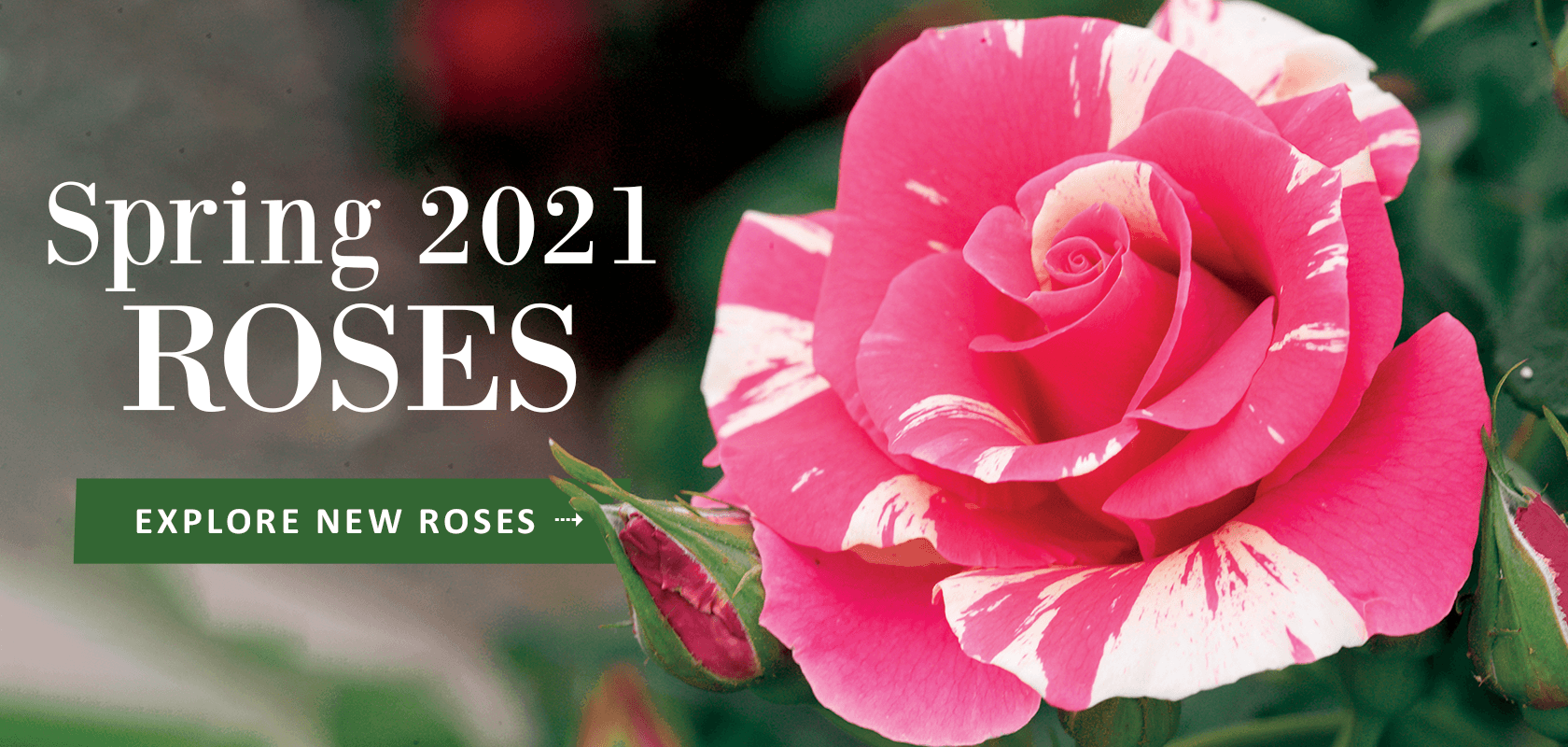 Spring 2021 Roses