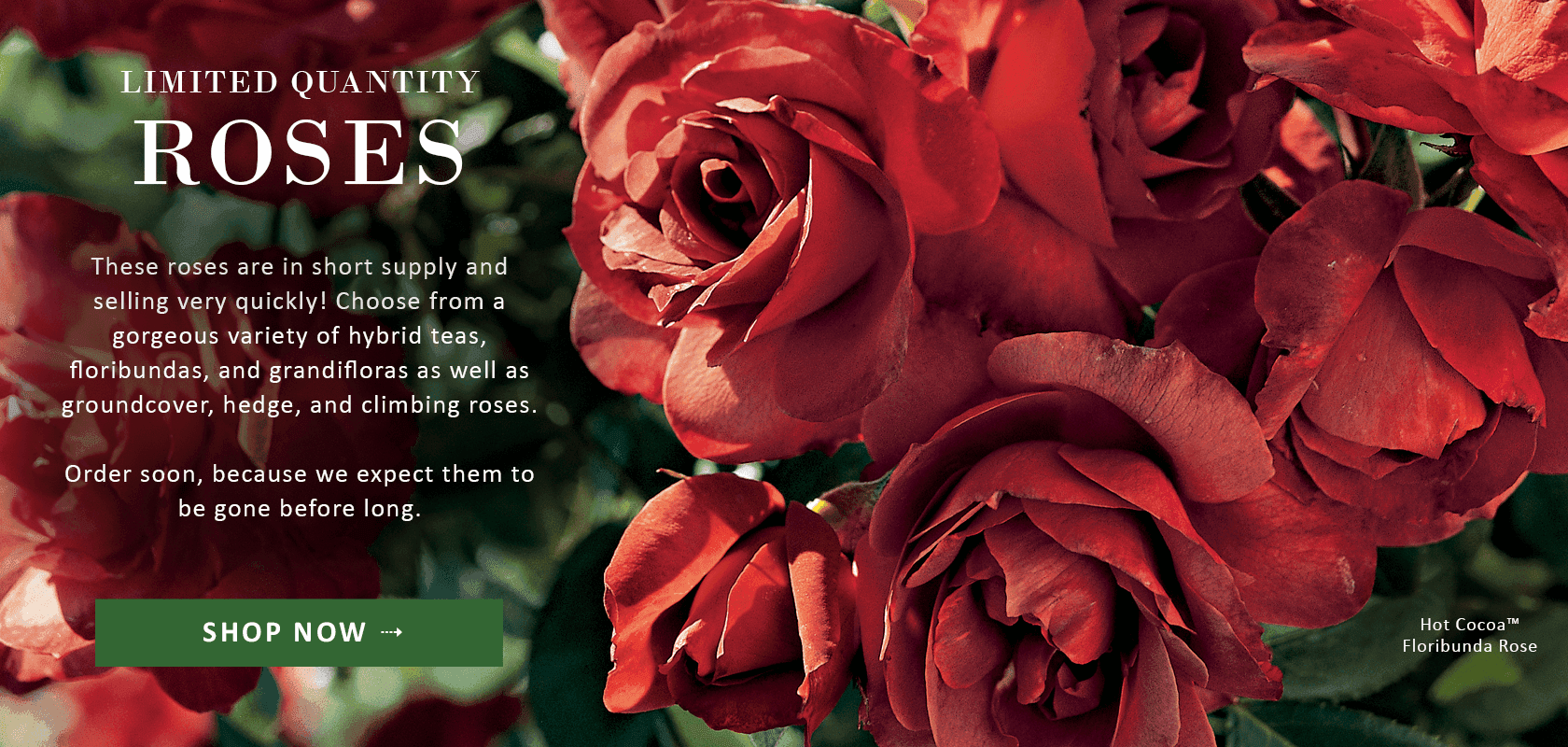 Limited Quantity Roses -- These roses are in short supply and selling very quickly! Reserve yours now