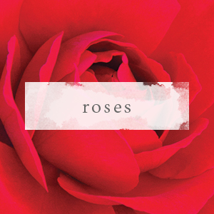 Shop Among The World's Finest Roses