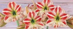 Amaryllis Gift Plants