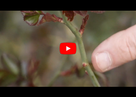 Watch our video explaining what a bud eye is