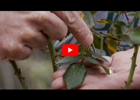 Watch our video about how and when to deadhead your roses