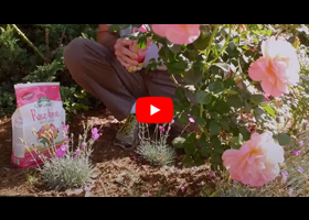 Watch our video about how and when to fertilize your roses