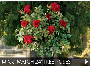 "Mix and Match 24"" Tree Roses"