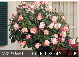 "Mix and Match 36"" Tree Roses"