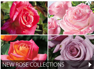New Rose Collections