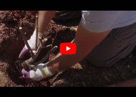 Watch our video about planting bareroot roses