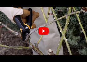 Watch our video about how and when to prune your roses
