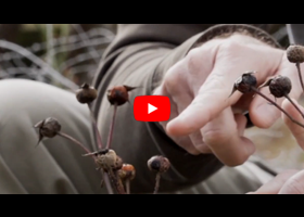 Watch our video explaining what a rose hip is