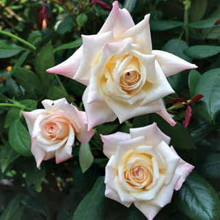 SP Soft Whisper Hybrid Tea