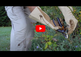Watch our video about caring for your roses in summer