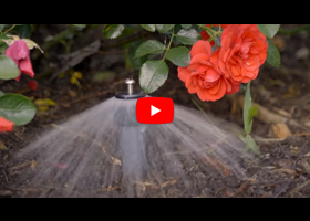 Watch our video about how and when to water your roses