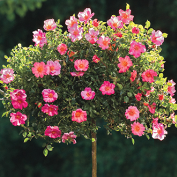 Learn Tree Roses