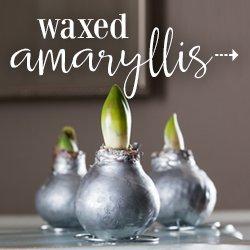 Waxed Amaryllis