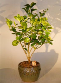 Miniature Key Lime Tree