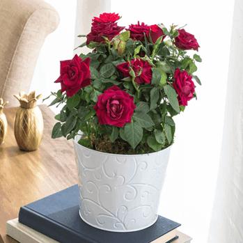 Miniature Roses Care Guide