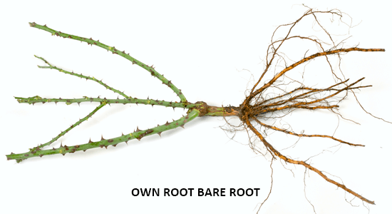 Own root Bare root Roses