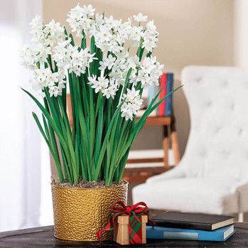 Paperwhites Care Guide