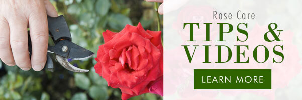 Rose Care Tips & Videos