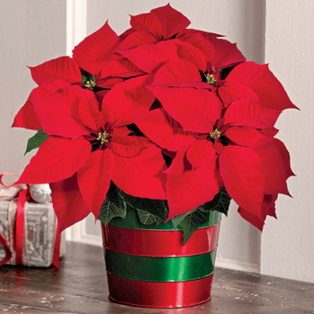 Poinsettia Care Guide