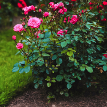 Rose Spacing Tips