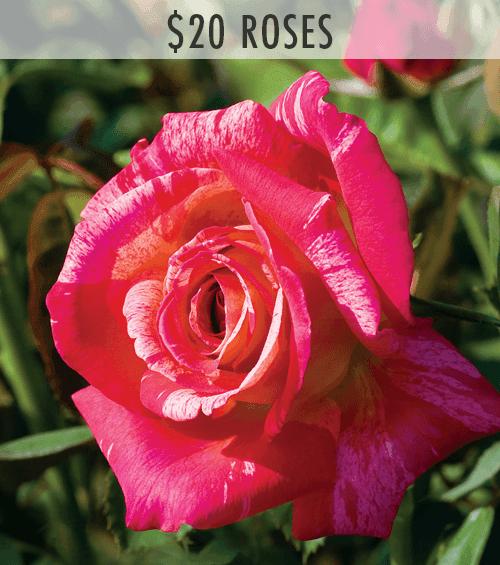 $20 Roses