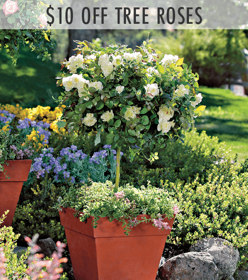 $10 Off Select Tree Roses