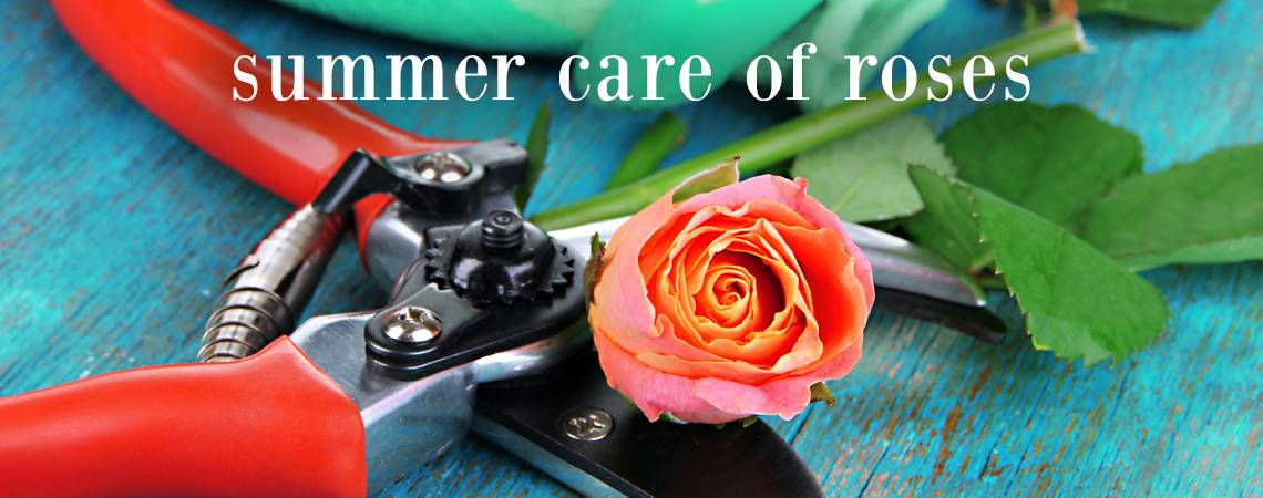 Roses In Garden: Summer Care Of Roses
