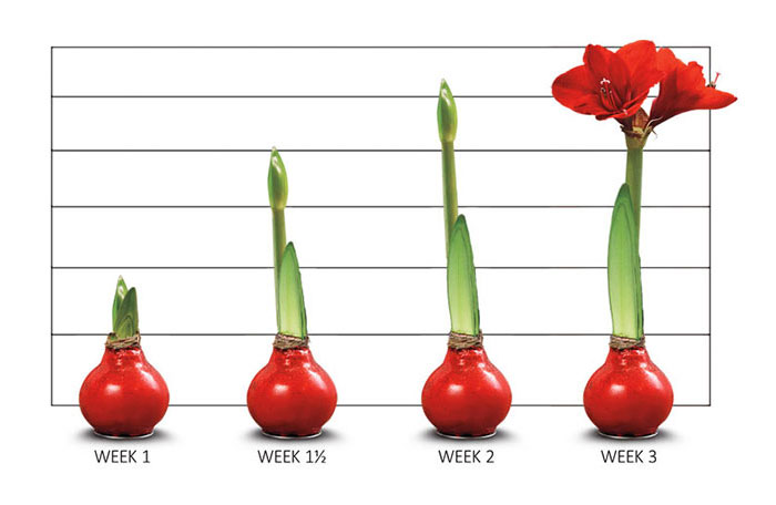 Waxed Amaryllis Growth Chart