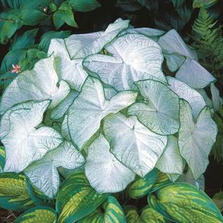 Caladium 'Moonlight' Image