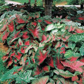 Caladium Mixed Fancy Leaf Image