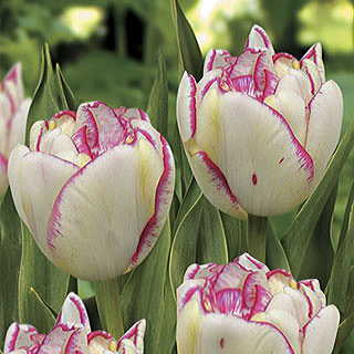 Belicia Tulip - Pack of 10