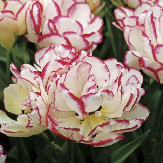 Tulip 'Belicia'
