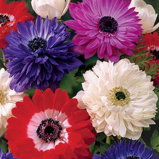 St. Brigid Double Mix Windflower - Pack of 10 Image