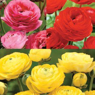 Ranunculus Blend Image