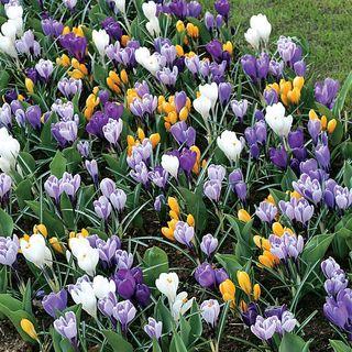 Crocus Large-Flowered Economy Mix