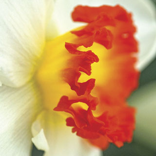 Narcissus 'Ring of Fire' Image