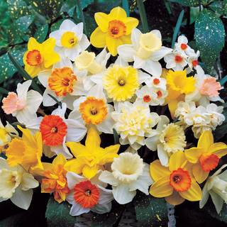 Narcissus Top-of-the-Line Mix Image