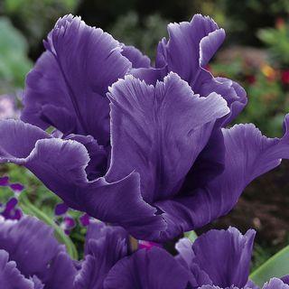 Tulip 'Blue Parrot' Image